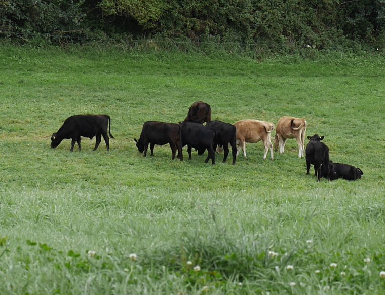 jersey-and-angus-cows