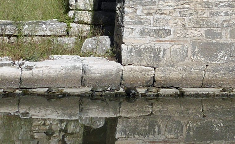 turtles-in-butrint