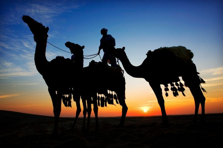 camels in the desert at sunset