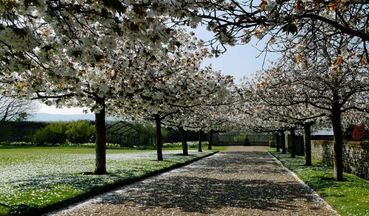 Cowdray - Cherry Blossom and Buddha