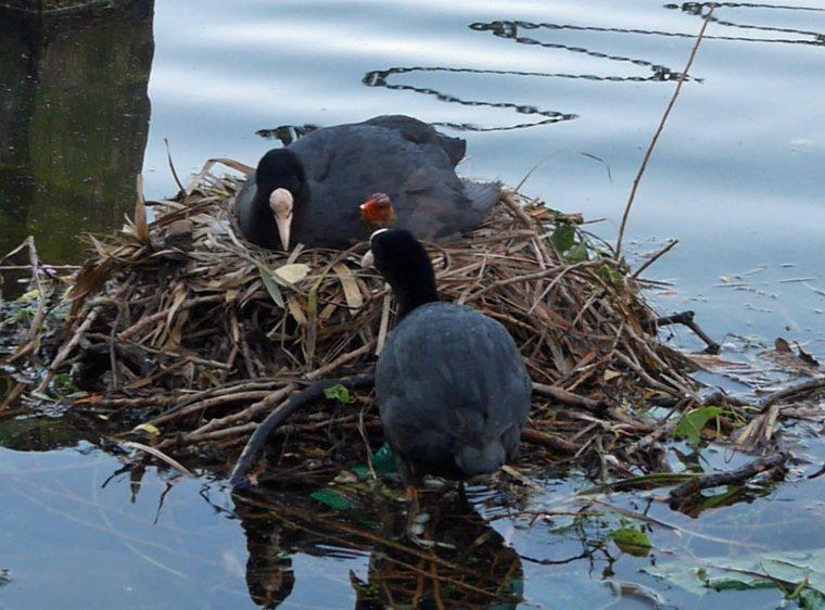 Nesting moorhen 2