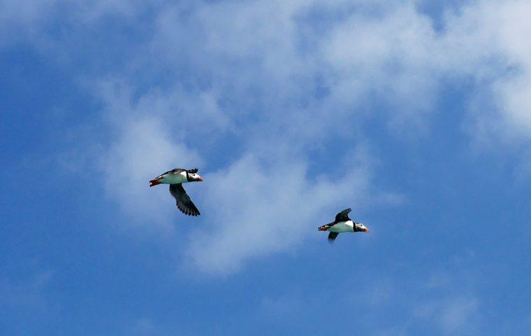 flying puffins Scilly Isles