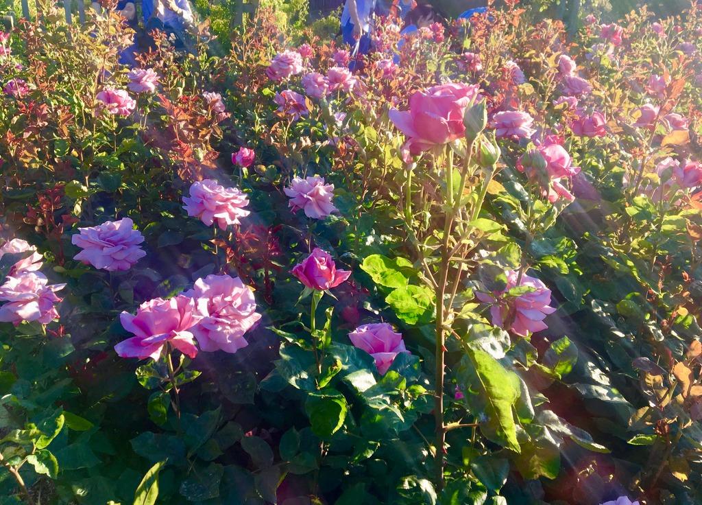 Roses - Regents Park London