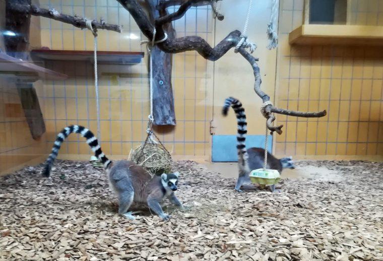 Baden-Baden Zoo - Lemurs