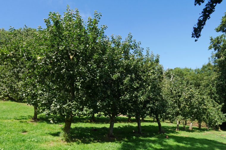 Apple Trees Guernsey