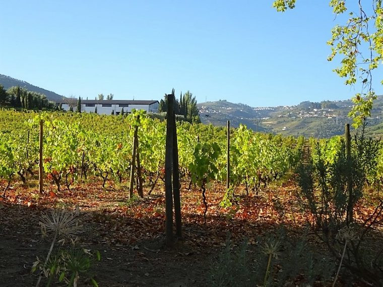 View of the vineyard Quinta da Pacheca