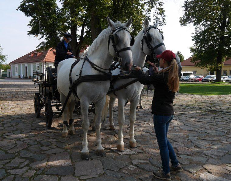 Carriage Kladruby Stud