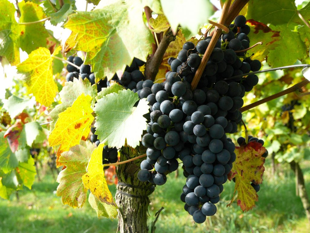 Domaine du Chenoy Wallonia Belgium grapes close up