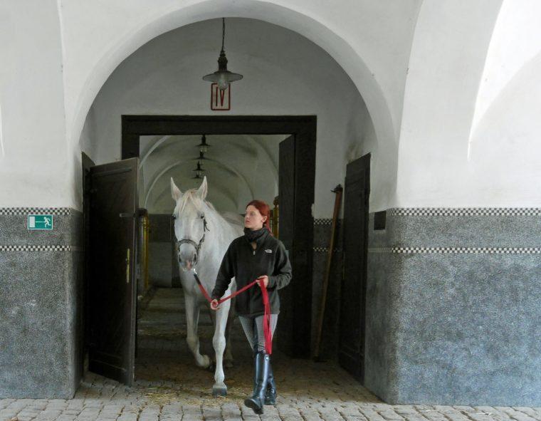 Horse at Kladruby Stud