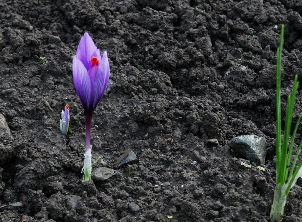 Saffron Crocus Wallonia