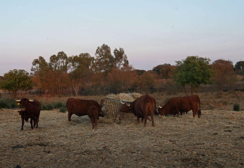 Herdade da malhadinha - heritage cattle