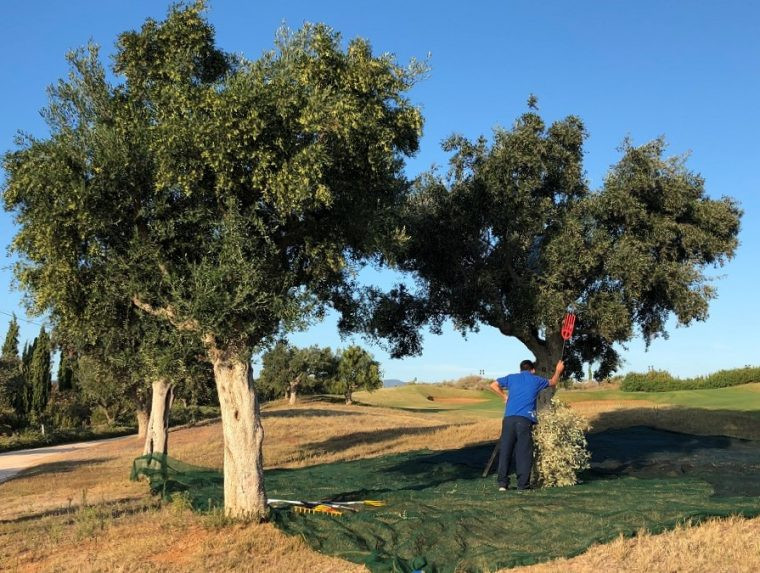 Olive harvesting Costa Navarino Cultural Weekend Greece
