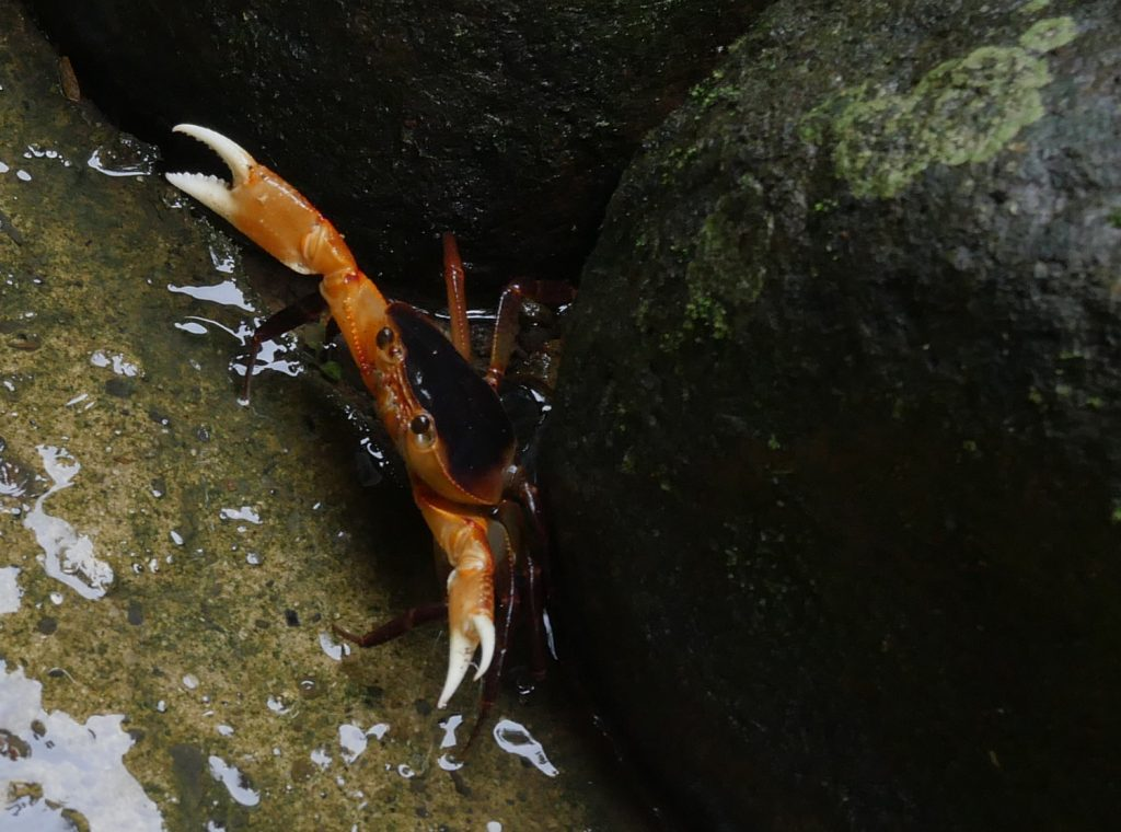 Rainforest Crab - st lucia