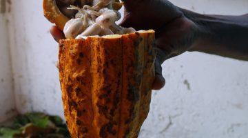 Cacao Grenada