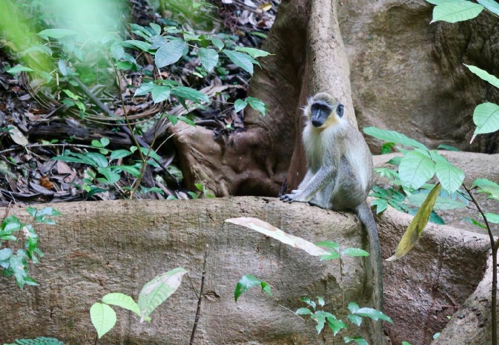 Green Monkey - Barbados