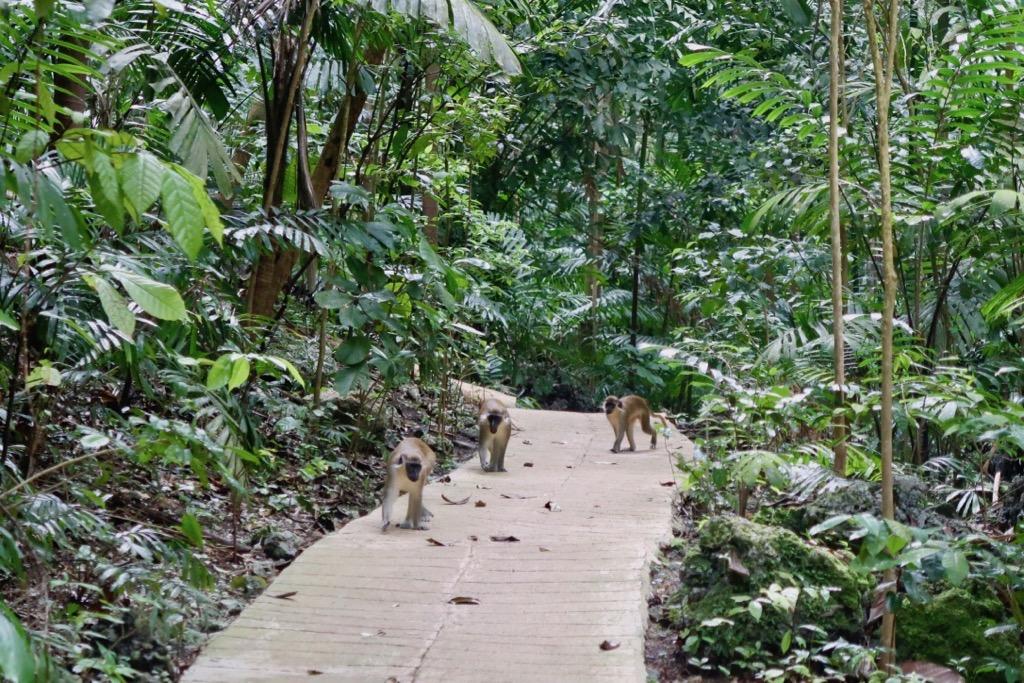Green Monkeys Barbados