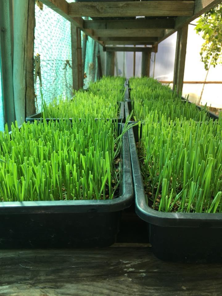 Moinhos Velhos- Wheatgrass
