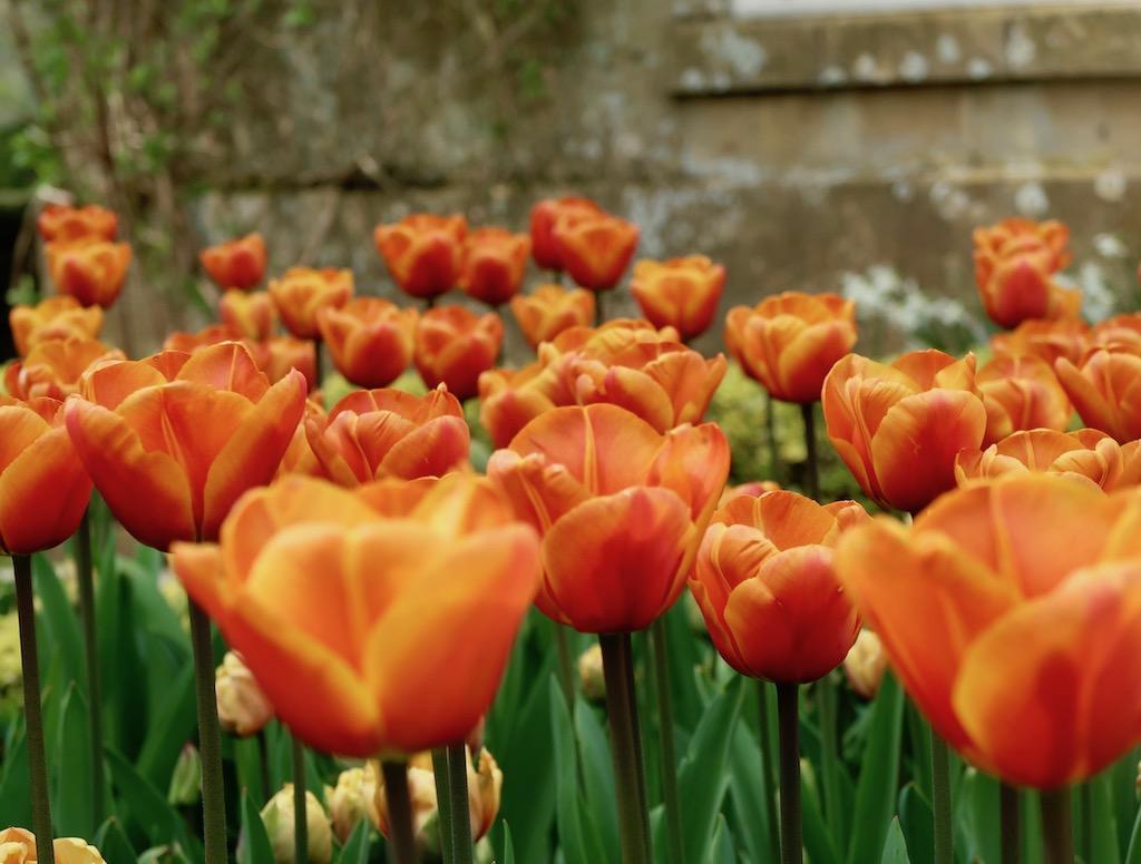 Hidcote Manor Gardens tulips