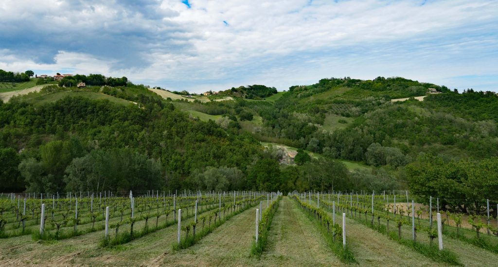 wines in the Marche