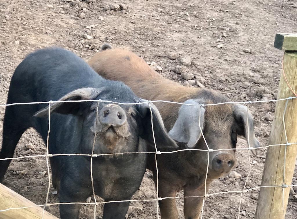 The Devon Spotted Pigs - Wild Oak farm