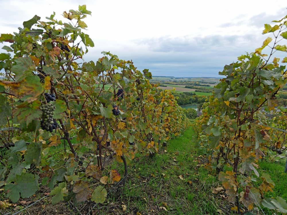 Pinot Noir - Montagne de Rheims