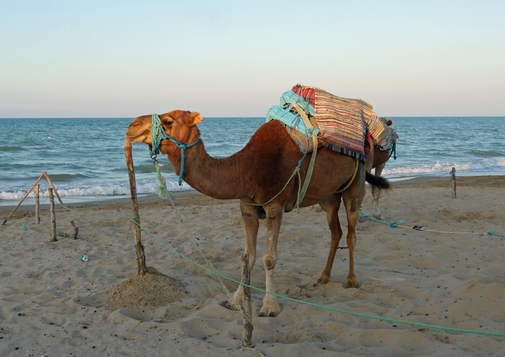 Beach Camel - Tunis
