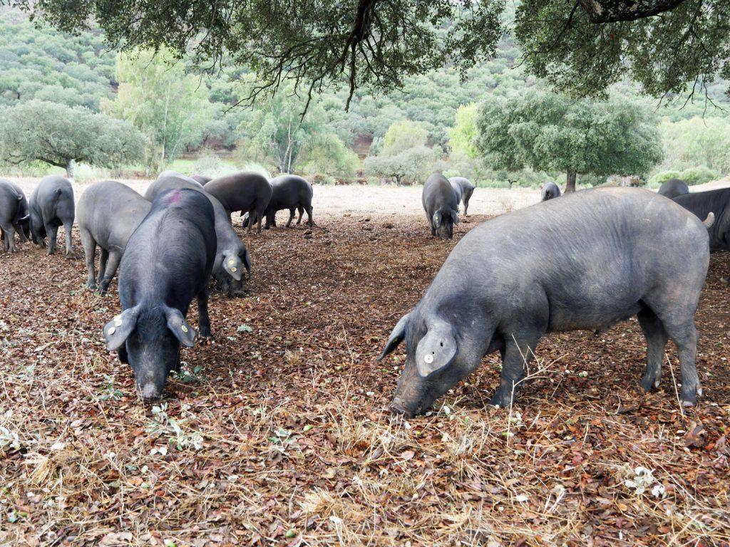 Black Pigs in the Dehesa