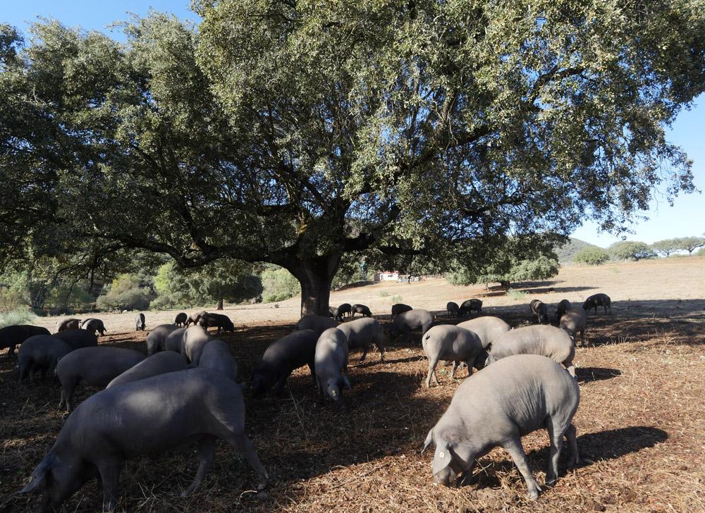 Dehesa - Black pigs in the sun
