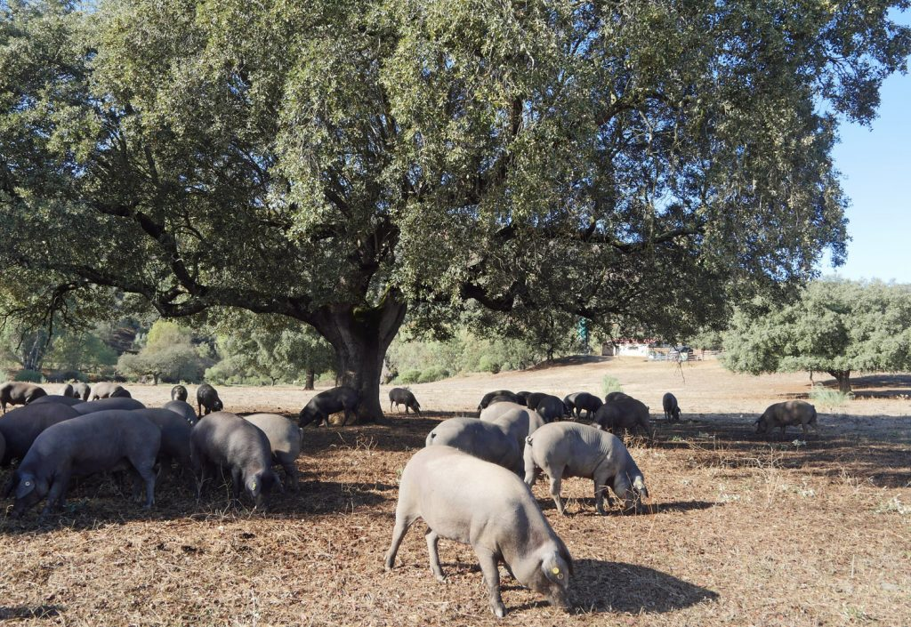 Iberican Pigs in the Dehesa
