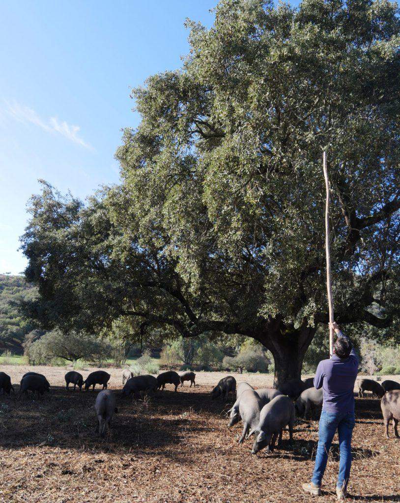 harvesting Acorns in the Dehesa
