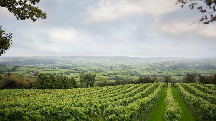 Montgomery Vineyard - view