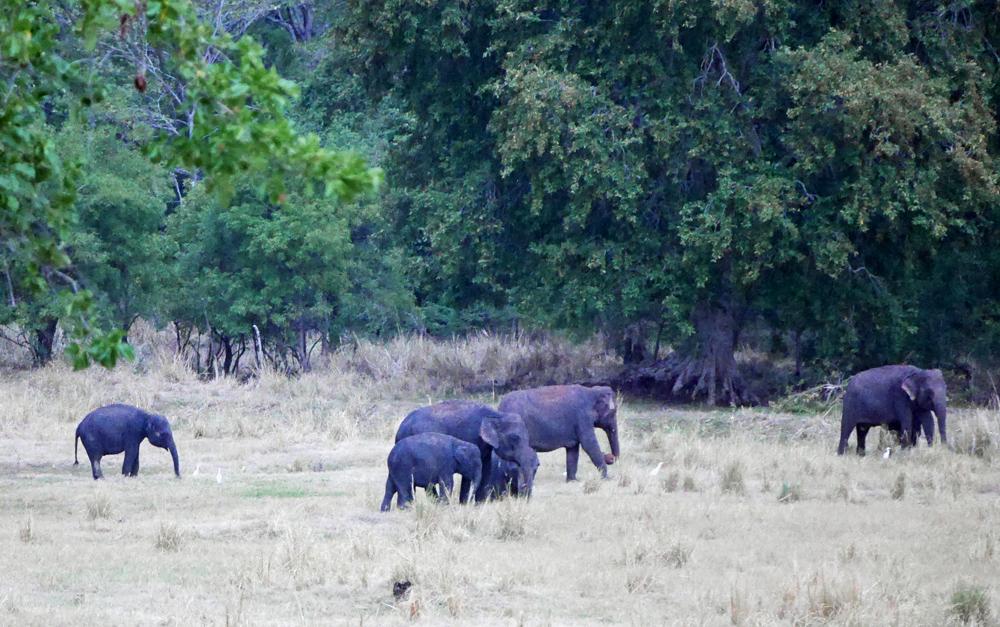 2020 Elephants Sri Lanka 2