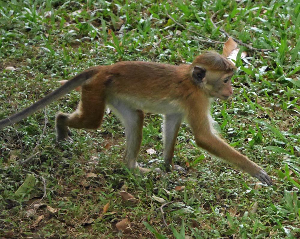 2020 Monkey Sri lanka