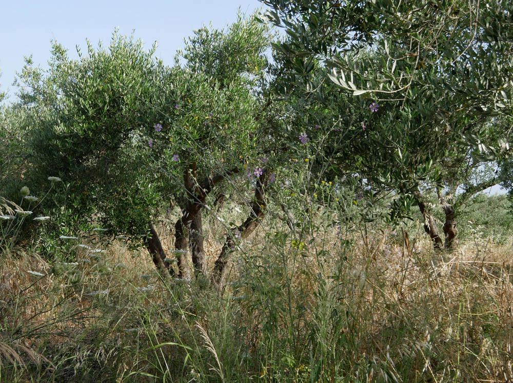 Olive Trees Crete