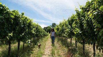 Le Marche Italy Vines
