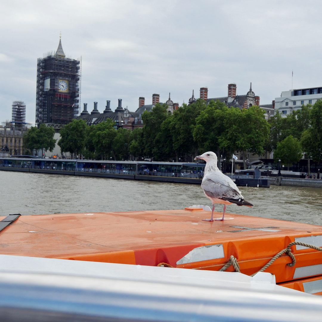 Hitchhiker Gull