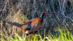 Game Recipes - Pheasant in the wild
