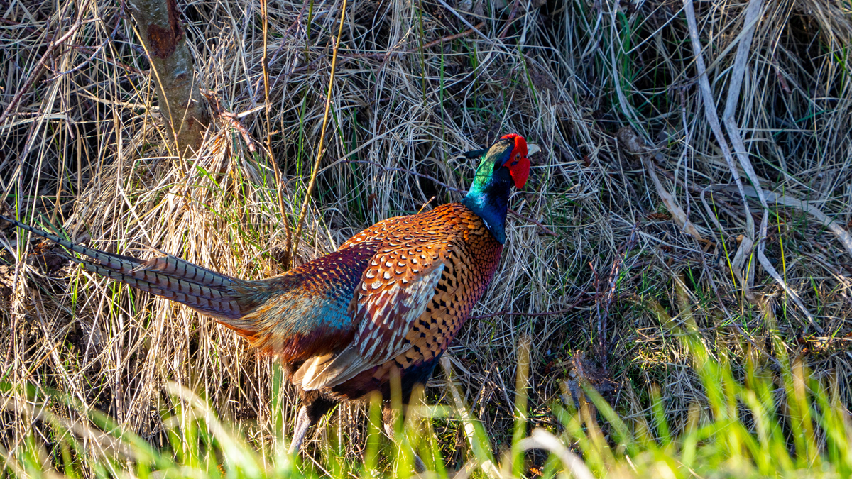 Pheasant in the wild