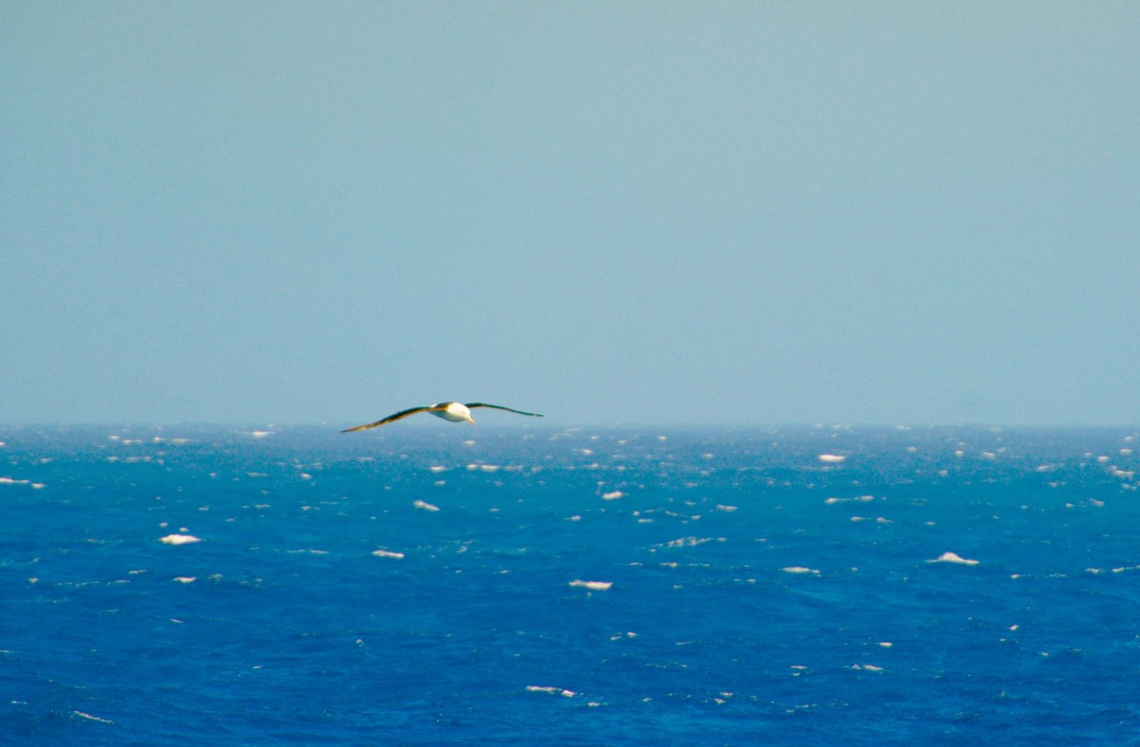 Black-browed albatross gliding over deep blue waves