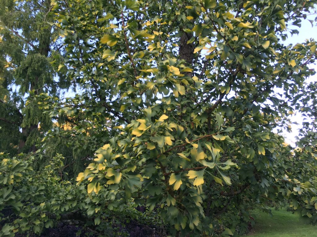 Gingko plant at Kew